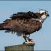 Osprey in VA