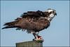 Osprey in VA (Nikographer [Jon]) Tags: va bhm virginia osprey bird 201704025005857 d500 nikon female fish nature wildlife nikographer