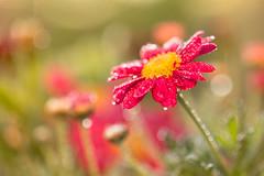 A celebrar! (Nathalie Le Bris) Tags: backlight contraluz contrejour fleur flor flower goutte 7dwf