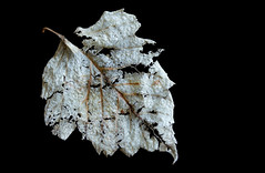 Frayed (Daniela 59) Tags: textures texturaltuesday pale frayed fragile decay leaf nature plant 100x2017 100xthe2017edition image26100 theworldaroundme danielaruppel