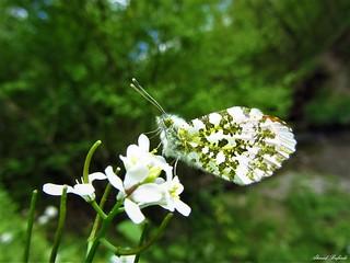 Butterfly 1190
