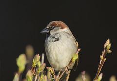 House Sparrow (J J McHale) Tags: housesparrow passerdomescus sparrow bird nature wildlife scotland