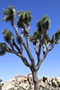 "12 Joshua Tree National Park 3.17 • <a style=""font-size:0.8em;"" href=""http://www.flickr.com/photos/36838853@N03/33588579616/"" target=""_blank"">View on Flickr</a>"