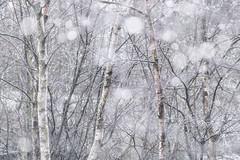 """Freeze"" (Fiona Smith (Prev. Fiona McAllister Photography)) Tags: weather woodland trees rain snow freeze sleet bokeh nature naturalengland naturereserve englishnature white wintery winter season seasonal birch fionasmithphotography pastel cumbria solwaywetlands"