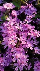 (Iggy Y) Tags: purple spring blossom flowers plant flower day light sunny shadow phlox subulata scarlet flame creeping puzavi plamenac puzaviplamenac nature green leaves
