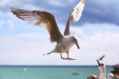 (Hkdamien) Tags: f4 70200 canon pier nature bird uk brighton seagull