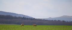 Rehe bei Calden (Greby-Johann) Tags: reh grün natur wildness rotwild deer cerf chevreuil corzo capreolus rehbock hirsch sprung gruppe feldrehe feld nahaufnahme calden kassel acker fegen winterkleid dörnberg helfensteine