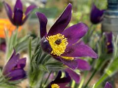 Sasanka (tomek034 (Thank you for the 1 300 000 visits)) Tags: sasanka kwiat wrocław ogródbotaniczny flora