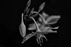 Naturaleza infinita (Jaime Recabal) Tags: canon 40d sigma recabal flower monochrome blackandwhite blancoynegro