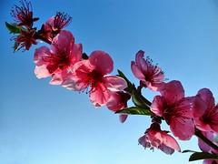 lovely colour (almresi1) Tags: blüten flowers blumen spring frühling baum ast tree blauerhimmel bluesky
