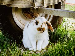 Shy (nereaoroquieta) Tags: animalplanet conejo rabbit granja farm nature naturaleza animal manchas verde rueda carreta