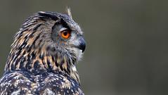 These old wise Eyes.. (Nephentes Phinena ☮) Tags: nikond500 wildparkeekholt eagleowl uhu europäischeruhu europeaneagleowl falconry falknerei birds animals