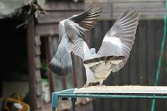 21 April 2017 (27) (AJ Yakstrangler) Tags: yakstrangler pigeon pigeons