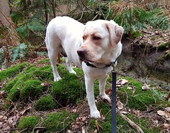 Gracie standing on the bank (walneylad) Tags: gracie dog canine pet puppy lab labrador labradorretriever cute spring april