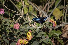 Purple Sunbird (Male) (traptiantiwary) Tags: sunbird purplesunbirdmale birdphotography indianbirds nature canon canoneos india