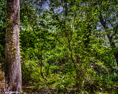 Random Acts Of Nature (that_damn_duck) Tags: nature trees vines foliage summertime summer