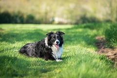 Ruby, Upton Cheyney (T J G photography) Tags: 70200 naturallight nikkor bristol spring dog nikon upton cheyney 200mm d610 manor farm collie
