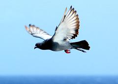 pigeon over the Pacific,Hawaii 28Sep15.01 (Pervez 183A) Tags: hawaii usa pacificocean islands pigeon bird
