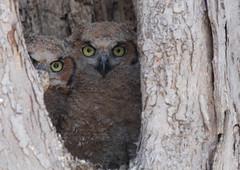 Great Horned Owl (owlets) (Close Encounters of the BIRD Kind) Tags: greathornedowlowlets owlets lonetree ia iowa