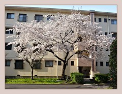 """""""Spring arrived with the Yamazakura Cherry Tree  blooming in front of my apartment building."""" (martian cat) Tags: ribbet japanesecherryblossoms yokohama japan ©martiancatinjapan allrightsreserved© ©allrightsreserved flower nature treeblossoms martiancatinjapan© ☺allrightsreserved cherryblossom allrightsreserved ☺martiancatinjapan martiancat martiancat© ©martiancat martiancatinjapan"""