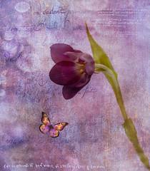 Purple Prose (maureen bracewell) Tags: flowers spring stilllife tulips purple texture maureenbracewell butterfly script manipulation digitalartistry saariysqualitypictures