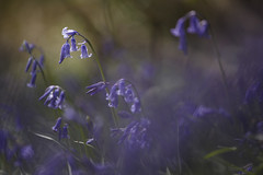 Bluebells (shawn›raisin d+p) Tags: aberystwyth canon6d ceredigion naturereserve penglaisnaturepark place plant shawnwhite uk wales blue bluebells bokeh floral flower purple spring tele telephoto wood woodland woods cymru unitedkingdom gb canon70200f4l