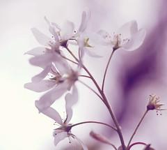 Leichtigkeit.... (AstridSusann) Tags: leichtigkeit unscharf blüten frühling garten