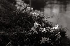 The Sunrays of Spring (Niels A) Tags: import20170409 flower kastellet copenhagen