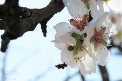 013107 - Almendro (M.Peinado) Tags: almendro flor flores flora tórtoladehenares provinciadeguadalajara castillalamancha españa spain 11032017 marzode2017 2017 canonpowershotsx60hs canon copyright