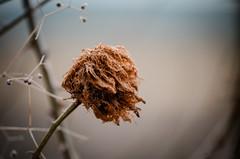 Rotschopf (ChristinaWieck) Tags: vertrocknet haare windig rot natur schlicht alt