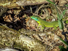 Spotted by a lezard (Lanceflot) Tags: western green lezard france ain bugey moutains countryside landscape ground crawl leaves reptile blue colorful tongue defense hunting wildlife nature animal lacerta bilineata macro grass outdoor plant