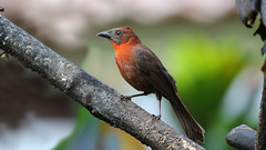 Red throated Ant-Tanager. Habia fuscicuada (jaytee27) Tags: redthroatedanttanager habiafuscicuada naturethroughthelens