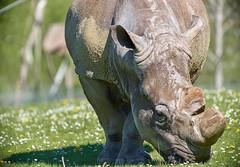 je broute avec grâce et élégance (rondoudou87) Tags: rhinoceros rhinocéros pentax k1 parc zoo reynou nature natur wildlife wild smcpda300mmf40edifsdm sauvage
