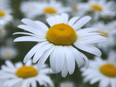 Spring daisies (ekaterina alexander) Tags: spring daisies bellis flower white yellow flowers ekaterina england alexander sussex nature photography pictures
