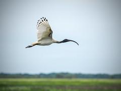 Ibis (D J Millard) Tags: australian white ibis fogg dam darwin nt bif bird flight