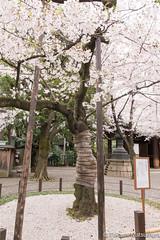 Cherry Blossoms index tree (takashi_matsumura) Tags: cherry blossoms index tree yasukuni shrine kudanshita chiyodaku tokyo japan spring sigma 1750mm f28 ex dc hsm os nikon d5300 ngc