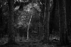 Light and Dark (Tom_Drysdale) Tags: loch sands spring 2017 birch burleigh light tawny leven fuji owl silver pine scotts fujifilm april