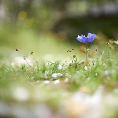 AneMone (ai3310X) Tags: none supertakumar 50mmf14 アネモネ anemone 昭和記念公園