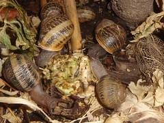 DSC02554a (alfredoeloisa) Tags: animalia mollusca gastropoda stylommatophora helicidae helix helixaspersa cornuaspersum