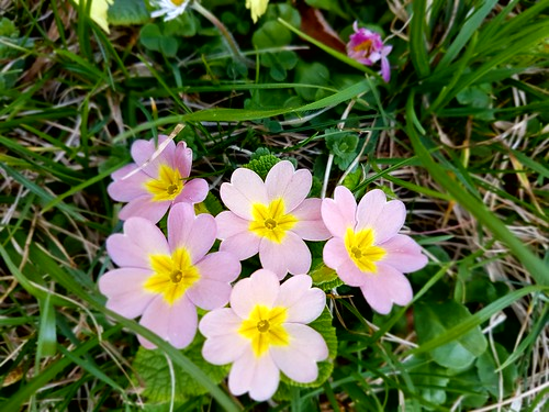 Spring in my garden - Primeln