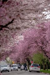 Street 街道 (T.ye) Tags: cherry blossom plum tree people cars landscape vancouver colourful
