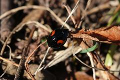 Strange Kind Of Ladybug (gripspix (OFF)) Tags: 20170318 kirchberg sulz badenwürttemberg germ any deutschland insect insekt marienkäfer ladybird ladybug macro makro harmoniaaxyridisfconspicua