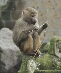 Wat zal ik hier nou eens van maken / What will I do about this? (wilma HW61) Tags: aap monkey animal netherlands affe tier niederlande scimmia animale paesibassi outdoor amersfoort dierenpark holland dier beast wilmawesterhoud wilmahw61 europa europe singe paysbas zoo portret portrait