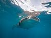 Whale shark VIII (altsaint) Tags: 714mm gf1 islamujeres mexico panasonic whaleshark shark underwater