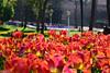 Istambul tulips - Turkey