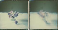 "Et les fleurs murmuraient, ""Alors, on danse ?""  (And the flowers were whispering, ""Shall we dance?"" (l'imagerie poétique) Tags: limageriepoétique poeticimagery polaroidweek roidweekspring2017 polaroidsx70 theimpossibleproject 600colorfilm instantphotography analogphotography pansies pensées mouvement diptych movement ishootfilm filmisnotdead"