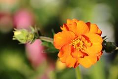 Rayonnante de bonheur. / Radiant of happiness (alainragache) Tags: macro flower fleur printemps spring primavera frühling orange garden jardin canon sigma 600d color couleur lumière light saison season bonheur happiness