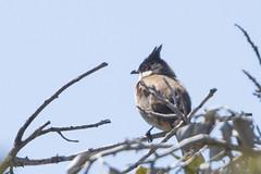 Red-whiskered Bulbul (Pycnonotus jocosus) 5 041114 (evimeyer) Tags: redwhiskeredbulbul pycnonotusjocosus ranchopalosverdes wildlifephotography altavicente