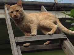 Te veo como hormiga (carlexe) Tags: wild cute yellow cat climb plantas kitty amarillo gato felino ladder tigre mascotas escaleras miau techo garras curico