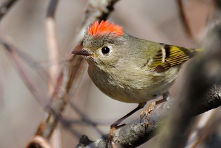 Ruby-crowned Kinglet-Regulus calendula